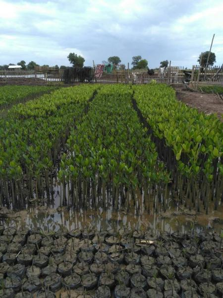 Young mangroves are cultivated in individual bags when they are shoots and then together in the ground when they get older